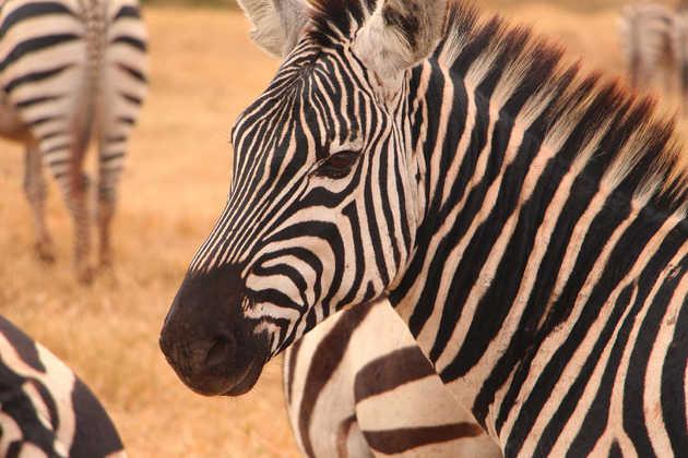 Zebraherde im Ngorongoro-Krater - Alina Kirsten   erlebnisreisen-afrika.de