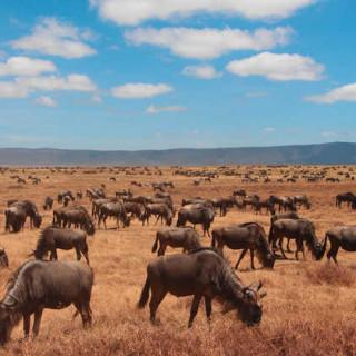 Gnuherde im Ngorongoro-Krater - Alina Kirsten | erlebnisreisen-afrika.de