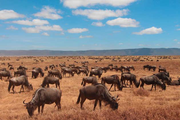 Gnuherde im Ngorongoro-Krater - Alina Kirsten   erlebnisreisen-afrika.de