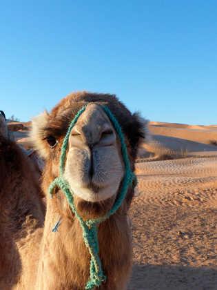 Kamel ganz nah - Ben Salem | erlebnisreisen-afrika.de